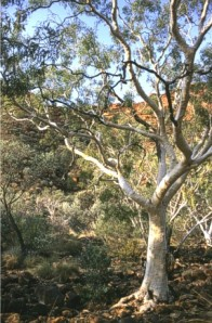 One of many Gum Trees